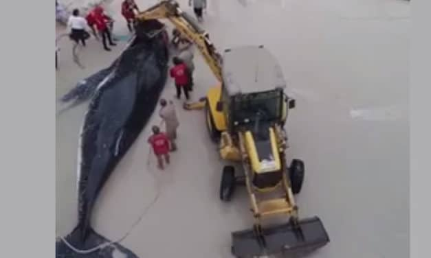 a community saved a whale stuck on shore – truly INCREDIBLE!