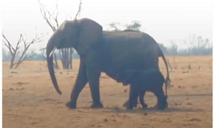 Lions Circle Trapped Baby Elephant UNTIL Another Elephant Family Shows Up