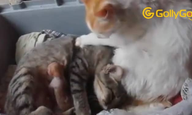 Cat Father Helps The Mother To Have Her Children